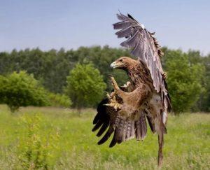 Đại bàng đầu nâu – Loài chim săn mồi dũng mãnh phương Đông
