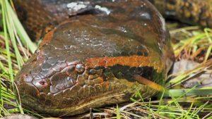 Trăn Xanh Nam Mỹ [Anaconda] Loài Trăn To Lớn Đáng Sợ Nhất Hành Tinh