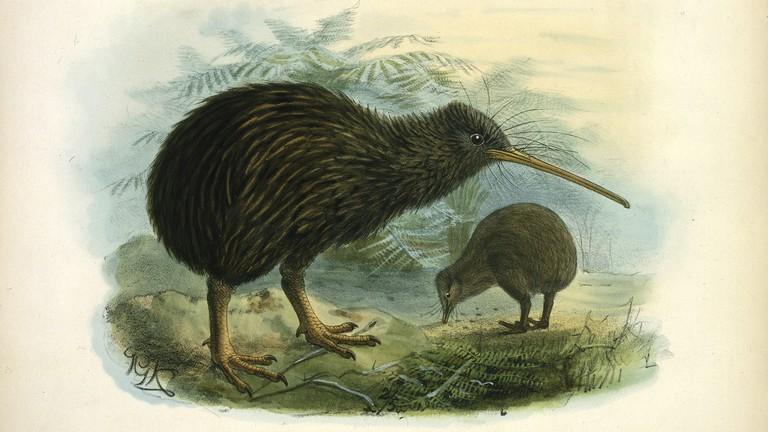 Chim Kiwi