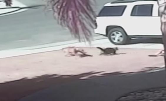 Động vật cứu người - Mèo tấn công chó bảo vệ đứa trẻ