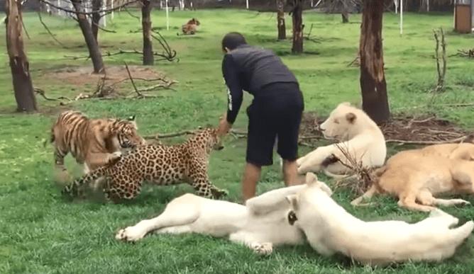 Động vật cứu người - Con hổ ngăn cản báo tấn công người