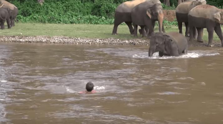 Động vật cứu người - Chú voi lao xuống sông để cứu người