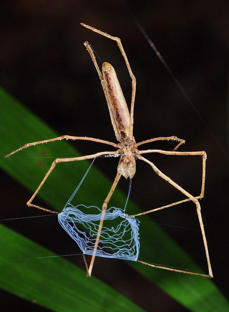 Nhện mặt quỷ đan lưới tơ
