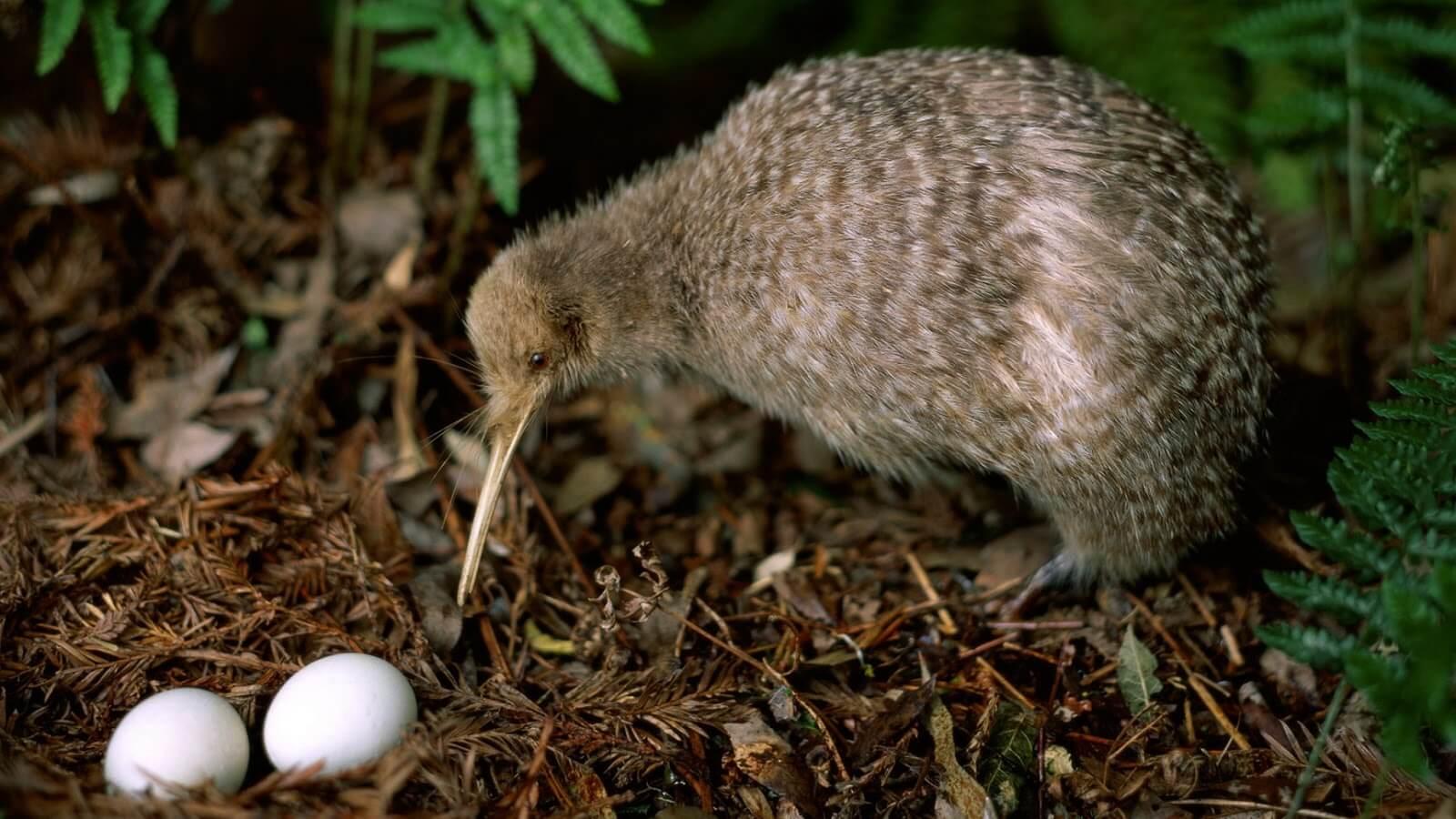 Chim kiwi và tổ trứng