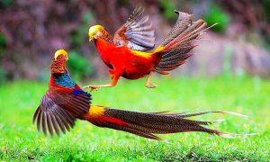 Trĩ Vàng | Loài Chim Tuyệt Đẹp Ẩn Mình Nơi Thâm Sơn Cùng Cốc