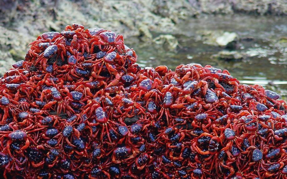 Cua đỏ đảo giáng sinh
