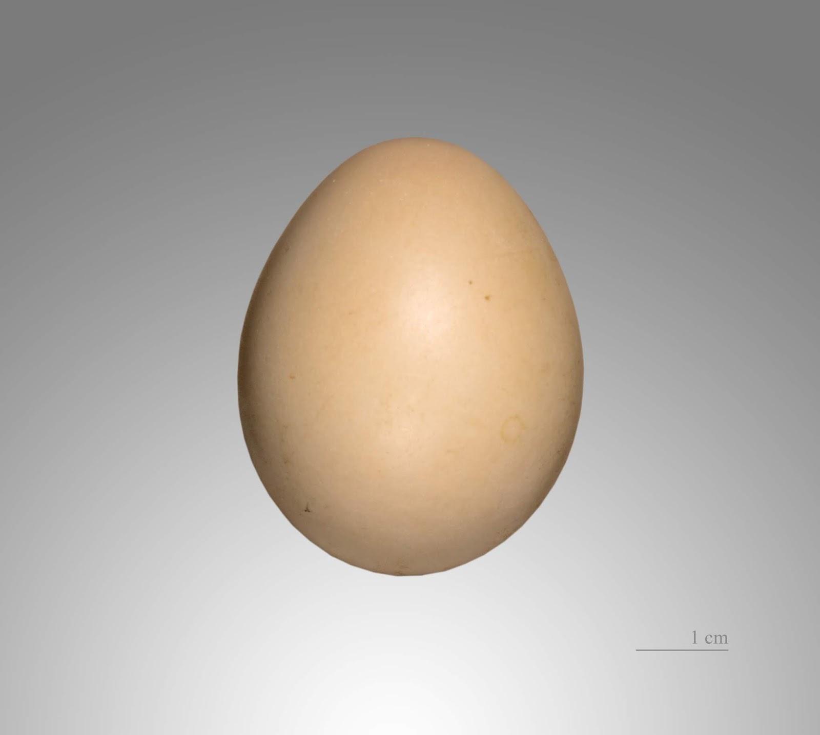 Trứng chim trĩ vàng