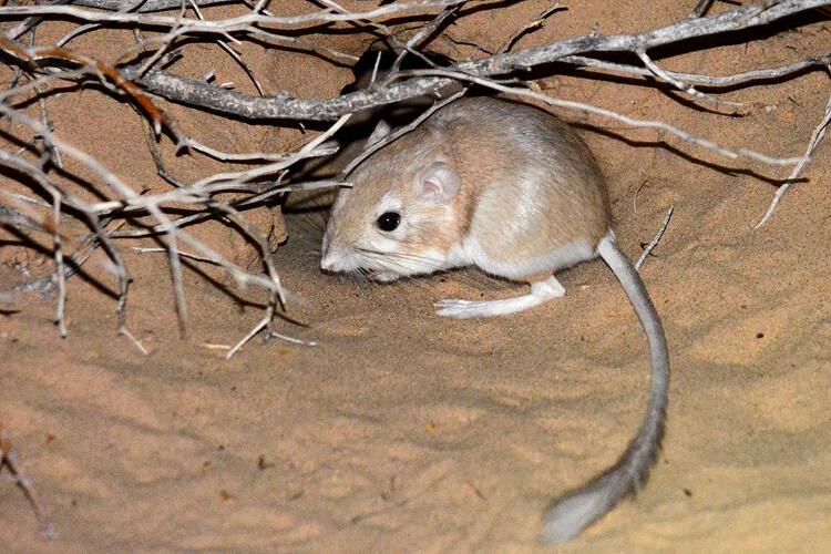 Chuột Túi Sa Mạc