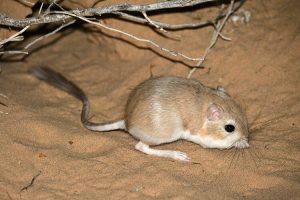 Chuột Túi Sa Mạc Đối Mặt Rắn Đuôi Chuông