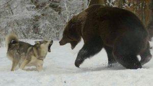Sói Xám | Ăn Thịt Đồng Loại & Tấn Công Cả Gấu