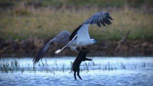 Đại bàng biển bụng trắng bậc thầy săn mồi trên mặt nước