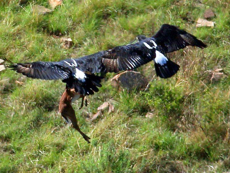 Đại bàng đen châu Phi