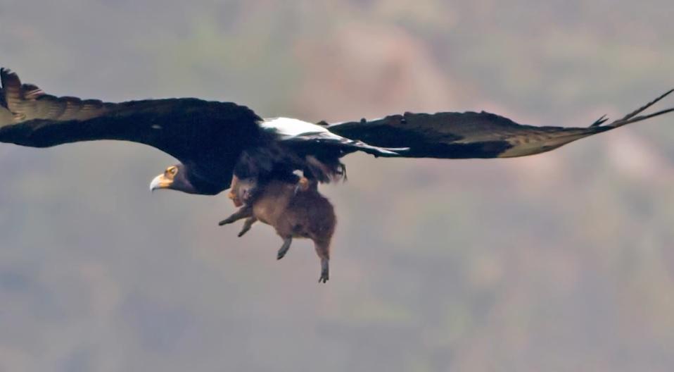 Đại bàng đen châu Phi và con mồi
