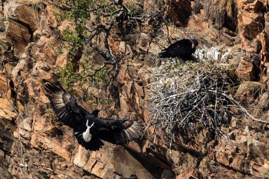 Tổ chim Đại bàng đen châu Phi