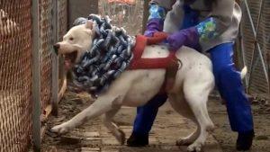 Dogo Argentina – Loài Chó Thông Minh Hiếu Chiến Và Đầy Cơ Bắp