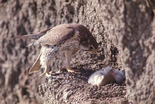 Tổ chim Cắt thảo nguyên