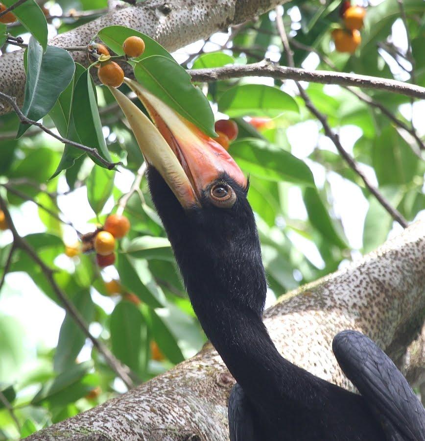 Chim tê điểu non ăn trái cây