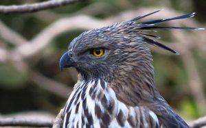 Đại Bàng Ưng | Loài chim săn mồi dũng mãnh nơi rừng rậm