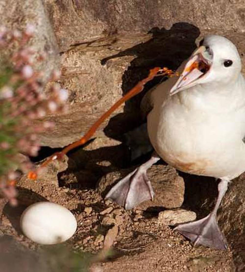 Chim hải âu fulmar phun dịch tự vệ