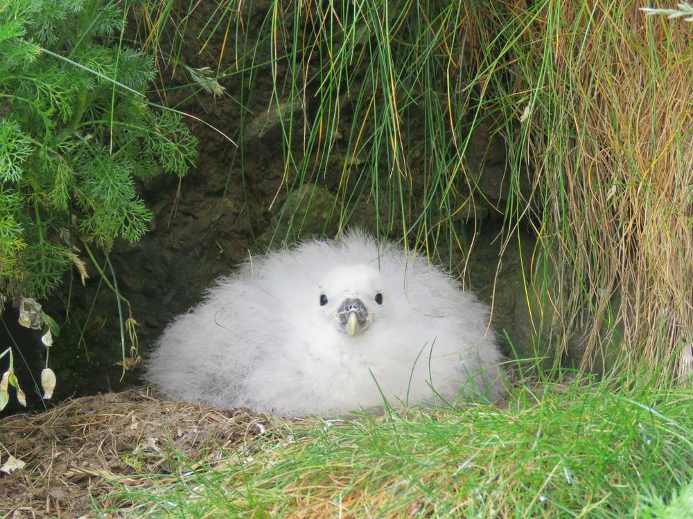 Chim non Hải âu Fulmar phương Bắc