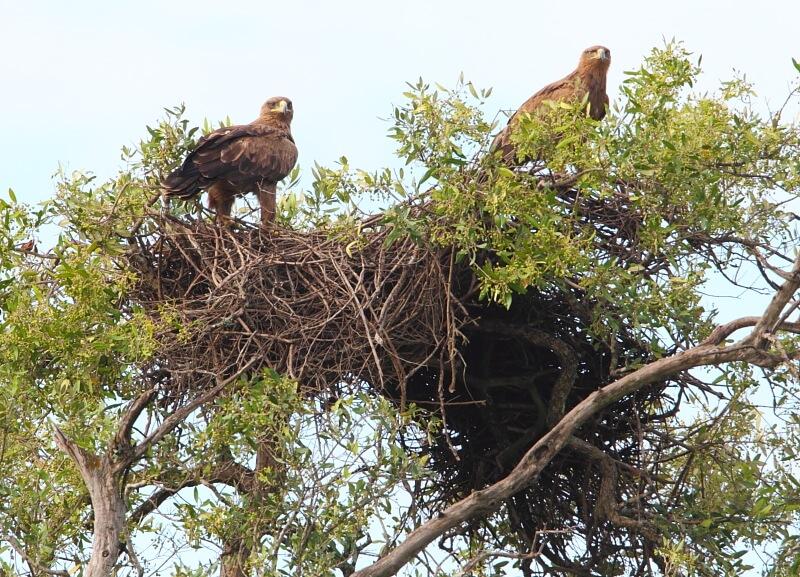 Tổ chim Đại bàng nâu