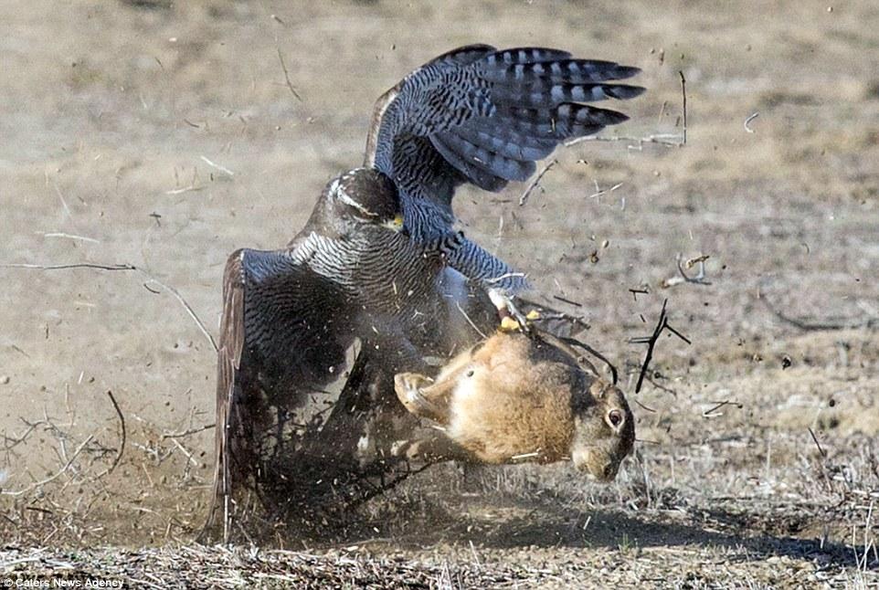 Ưng ngỗng săn mồi