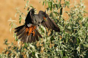 Chim Cắt Chân Đỏ