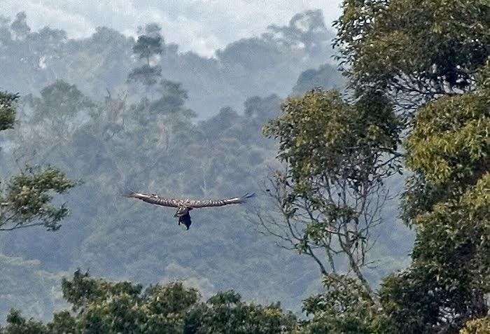 Đại bàng Philippines và con mồi