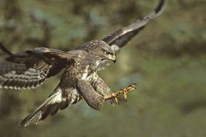 Chim săn mồi – Diều thường