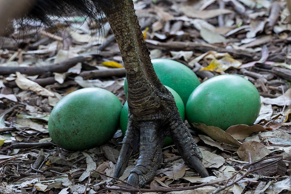 Trứng chim Đà điểu đầu mào phương nam