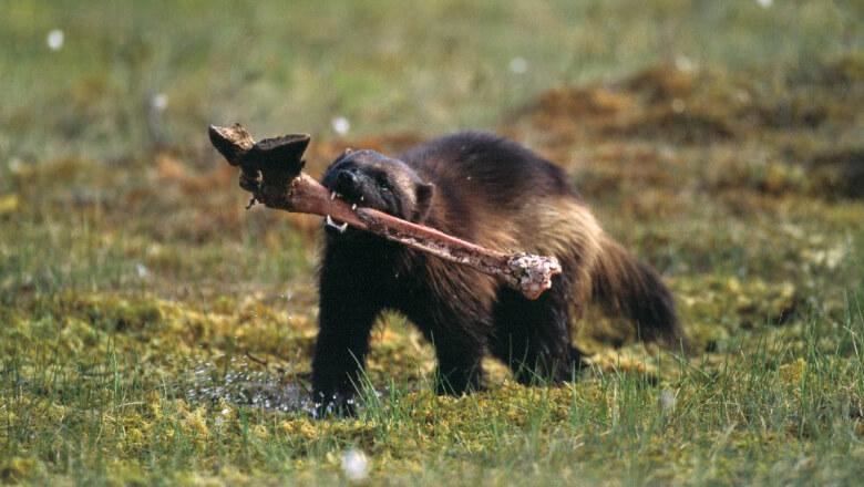 Chồn sói - Wolverine