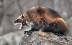 Chồn sói – Wolverine & Thứ Sức Mạnh Khủng Khiếp