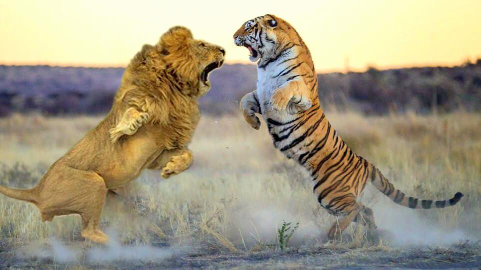 Hổ chiến đấu Sư tử, loài vật nào thật sự mạnh hơn