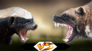 Chồn sói đấu với lửng mật, kẻ nào sẽ chiến thắng?
