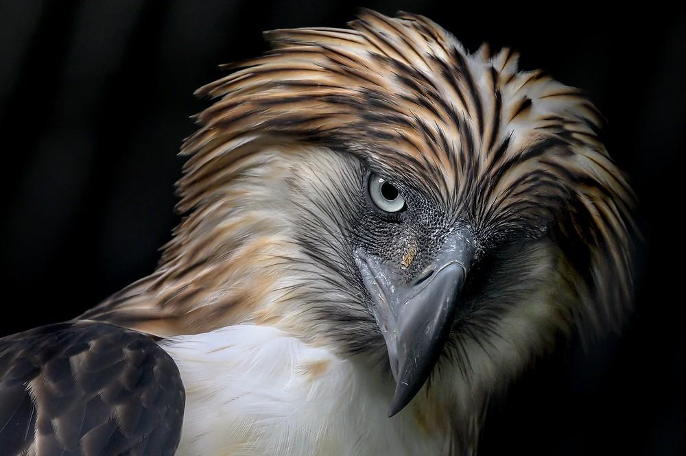 Đại bàng Philippines