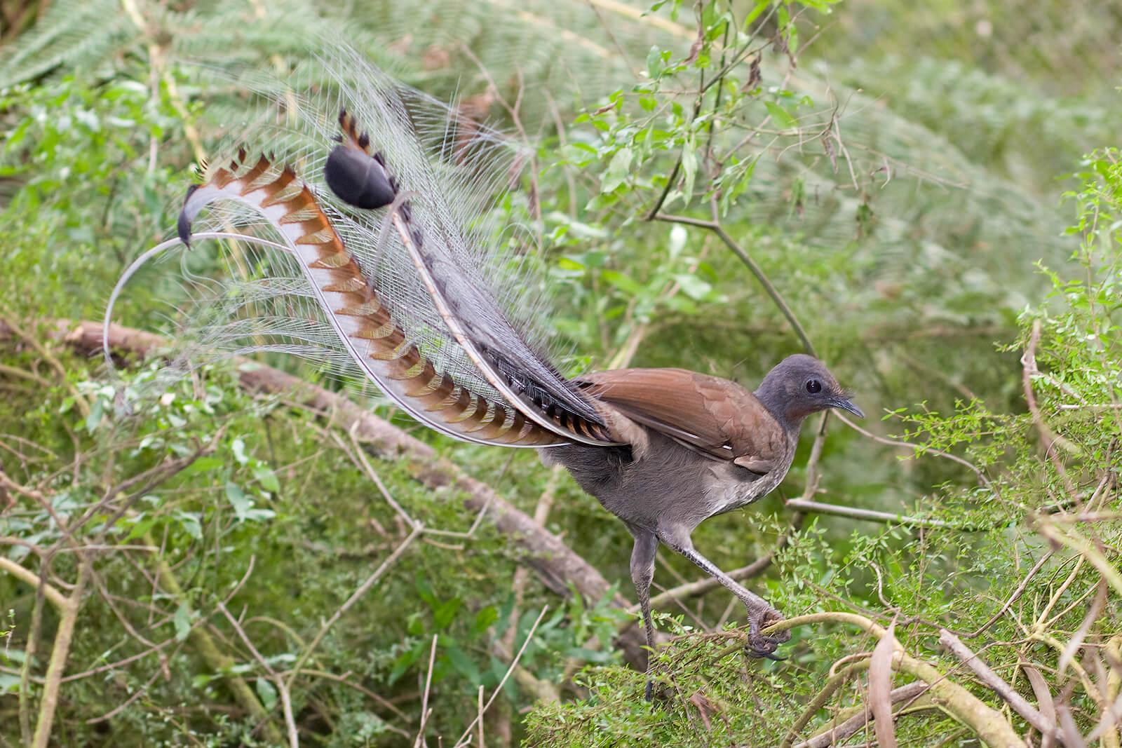Chim thiên cầm