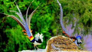 Top 7 loài chim có lông đuôi dài và đẹp nhất