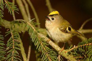 Tước Mào Vàng – Loài Chim Nhỏ Nhất Châu Âu