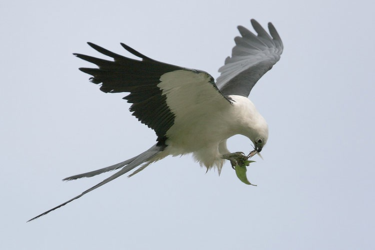 Diều đuôi nhạn săn mồi