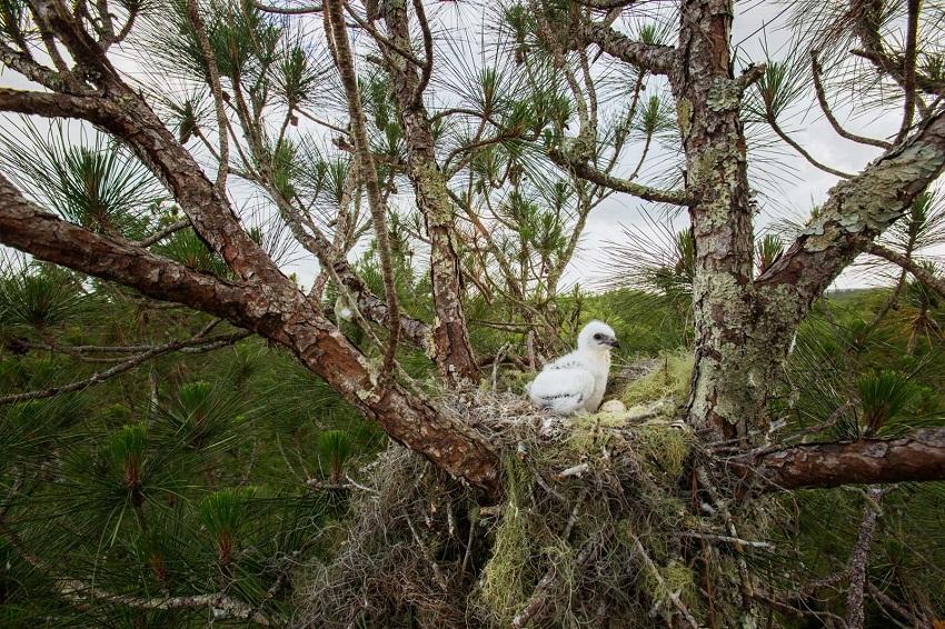 Tổ chim diều đuôi nhạn