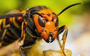 Ong bắp cày khổng lồ châu Á – Loài ong nguy hiểm nhất thế giới