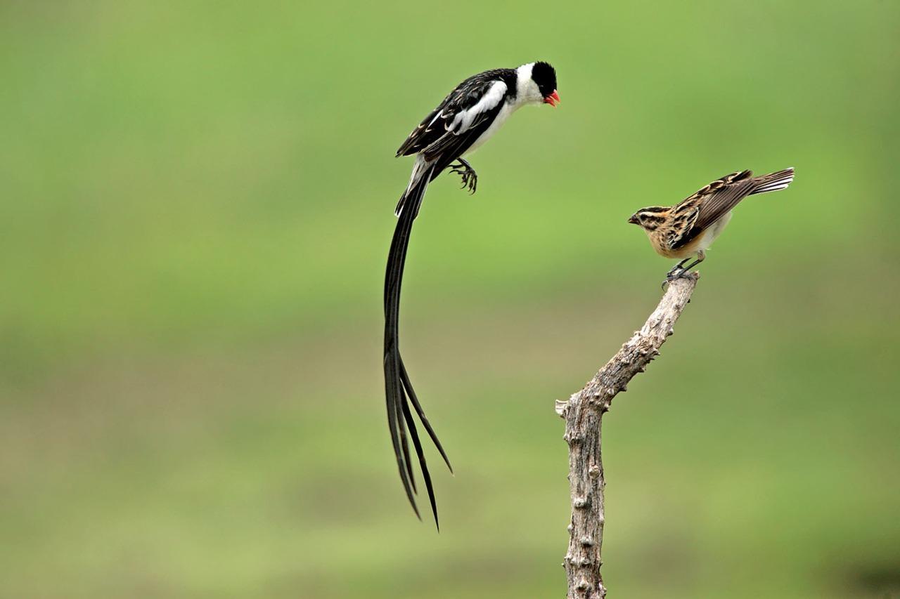 Chim Pin-tailed whydah và vũ điệu tán tỉnh