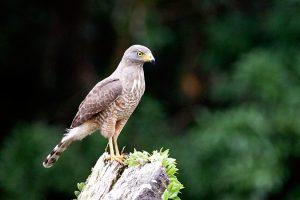 Diều hâu ven đường – Loài chim săn mồi nhỏ ở châu Mỹ