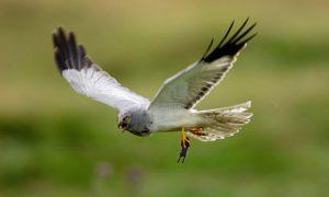 Diều hen – Loài chim sử dụng thính giác nhạy bén để săn mồi