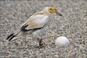 Kền kền Ai Cập Loài chim thông minh