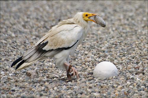 Kền kền Ai Cập dùng đá đập vỡ trứng