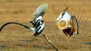 5 Loài Chim Có Màn Vũ Điệu Tán Tỉnh Vô Cùng Độc Đáo