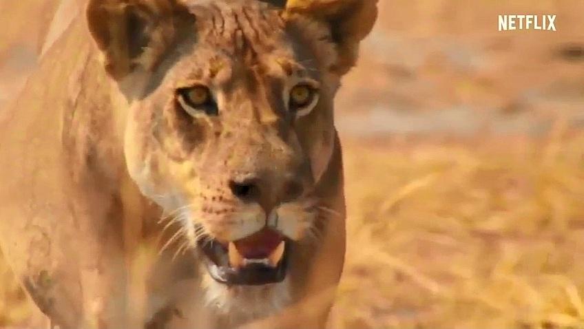 Cách mà trâu rừng chống trả trước sự tấn công của sư tử