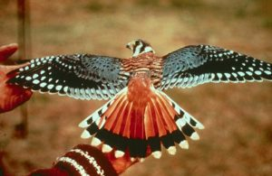 Cắt Mỹ | Loài Chim Săn Mồi Nhỏ Rất Được Yêu Thích