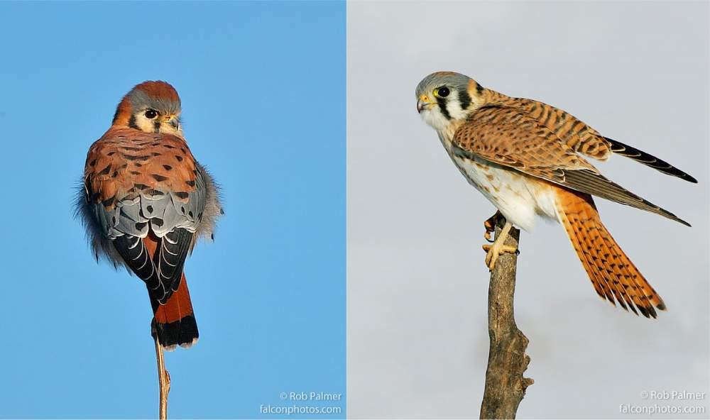 Chim Cắt Mỹ Trống (trái) - Mái (phải)